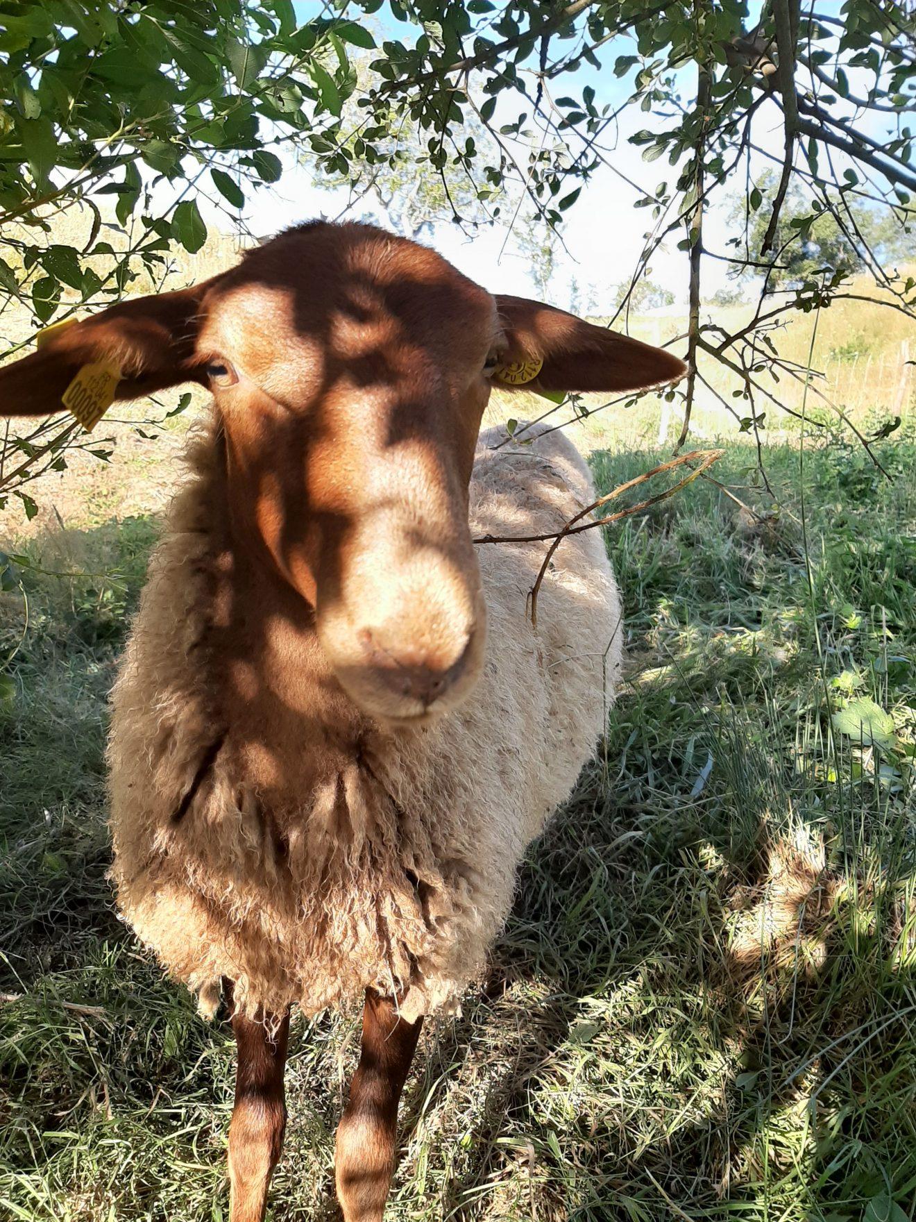 [:fr]L'Estefana - Mouton Julia[:nl]L'Estefana - Schaap Julia[:en]L'Estefana - Sheep Julia[:de]L'Estefana - Schaf Julia[:]